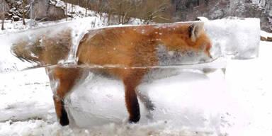 Fuchs erfroren