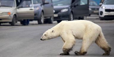 Eisbär Norlisk
