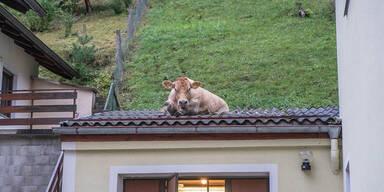 700-Kilo-Kuh bricht auf Dach ein: Feuerwehreinsatz