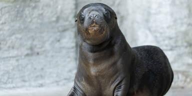 Robben-Jungtier im Tiergarten Schönbrunn geboren