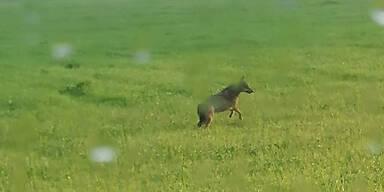 Wolf spazierte auf Radweg im Pinzgau