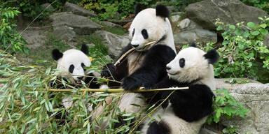 Panda Wien