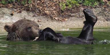 Bärenschutzzentrum Waldviertel Bär