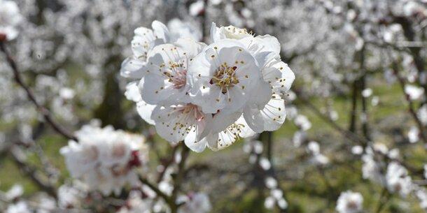 Frühling wie nie! Marillenblüte, Bärlauch schon da