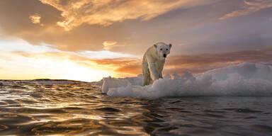Arktis Eisbär Kanada
