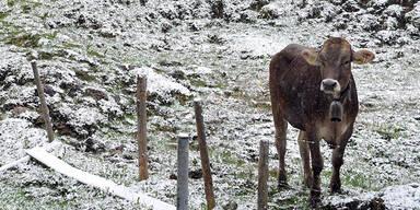 Wetter Schnee Kuh Rind Liechtenstein