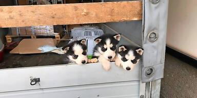 Husky-Welpen aus Lkw gerettet