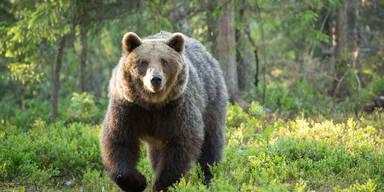 Wolf und Bär sorgen in Tirol für Aufsehen