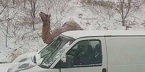 Was macht ein Dromedar mitten im US-Schnee-Chaos?