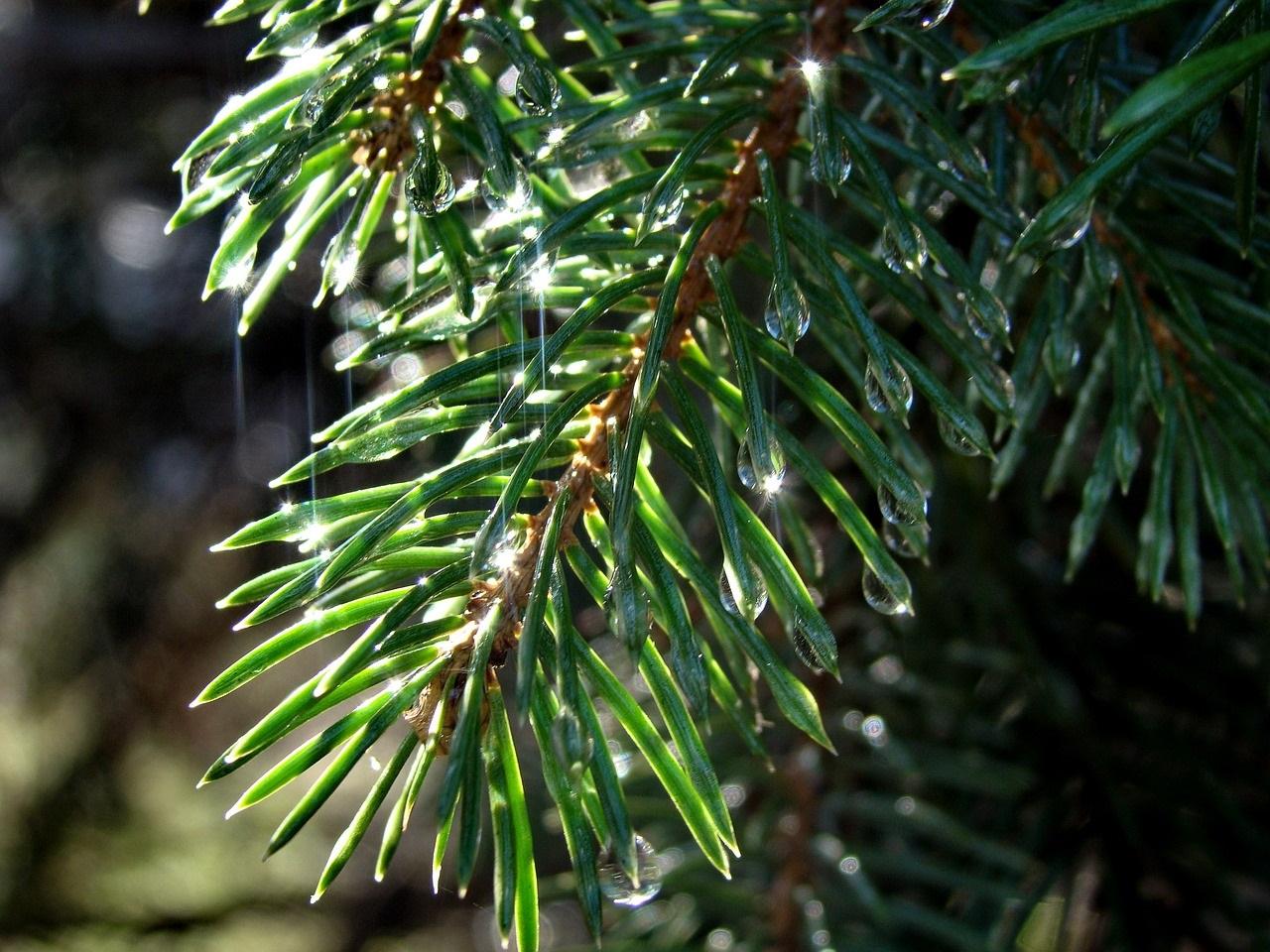 Fichte - Zweig - Nässe - Wassertropfen
