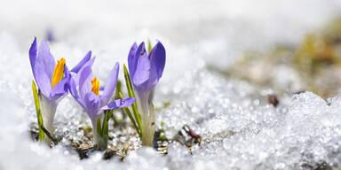 Krokus Frühlingserwachen Blumen im Schnee