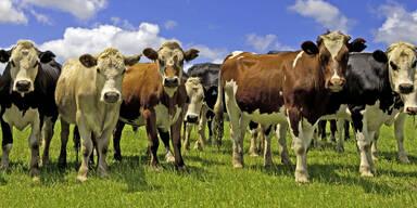 Rinderherde Rinder Kuh Kühe Kuhherde