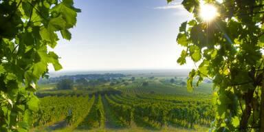 Weingärten Burgenland