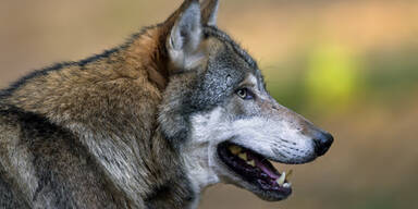 Aufregung um Wolf auf der Westautobahn