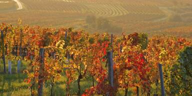 Weingärten Burgenland Sonnenuntergang