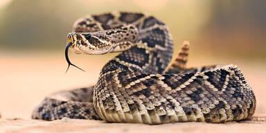 Klapperschlange in Keller biss leichtsinnigen Reptilien-Fan