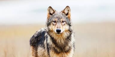 Wolf bei Bushaltestelle gesichtet