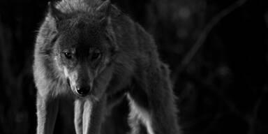 Wölfe dürften 30 Schafe auf Alm gerissen haben