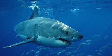 Hai Angriff Attacke