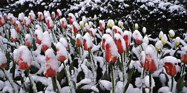 April Tulpen Schnee Wetter Frühling