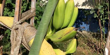 Bananen in Wien-Penzing