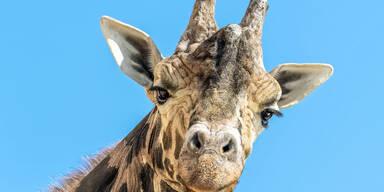 Trauer in Schönbrunn: Giraffe 'Kimbar' ist tot