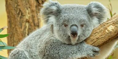 Schönbrunn: Koala-Nachwuchs feiert 1. Geburtstag