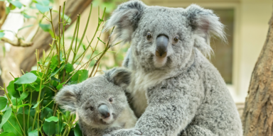So groß ist das kleine Koala-Mädchen schon