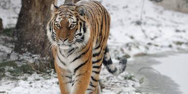 PA_Tiger.jpg