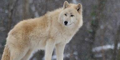 PA_Wolf.jpg