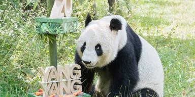 Schönbrunner Panda-Weibchen Yang Yang feiert 20. Geburtstag