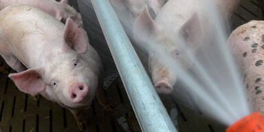 Schweinderln.jpg