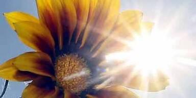 Kopie von Kopie von Sonnenblume