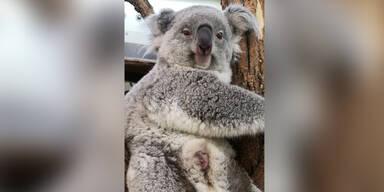 Sensationeller Schnappschuss vom Koala-Baby im Zoo Schönbrunn