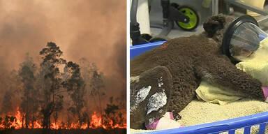 Waldbrände Australien Koala