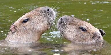 Wasserschweine.jpg