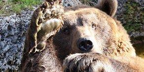 Jetzt wachen die Bären auf