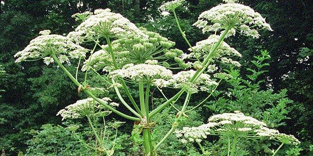 giftige pflanzen in deutschland giftige pflanzen von nebenan kampf gegen neophyten in giftige. Black Bedroom Furniture Sets. Home Design Ideas