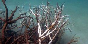 Großes Korallensterben am Great Barrier Reef