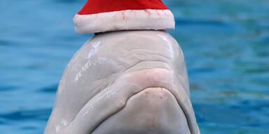 Auch dieser Beluga-Wahl aus Yokohama freut sich schon auf Weihnachten