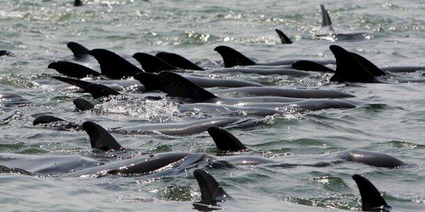 Hunderte verendete Delfine an Perus Küste