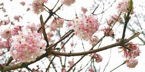 Frühling schon im Februar: Bäume blühen