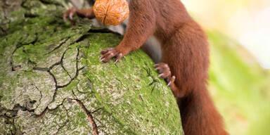 Ein Eichhörnchen klettert in Hamburg mit einer Wallnuss einen Baum hinauf