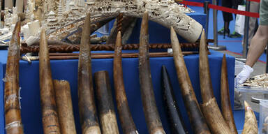 China vernichtete mehr als 660 Kilo Elfenbein