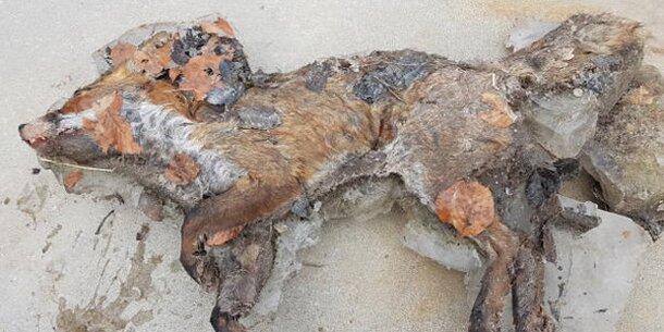 Eingefrorener Fuchs in Schweiz entdeckt