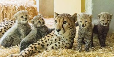 Vierfacher Geparden-Nachwuchs in Schönbrunn