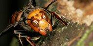 Wieder Killer-Hornissen-Alarm in den USA
