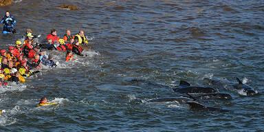 Helfer versuchen die Wale wieder ins Meer zurückzuschieben