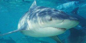 Hai-Angriffe erreichten 2015 Rekordhoch