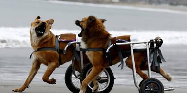 Zwei Hunde tollen in Rollstühlen über einen Strand in Peru